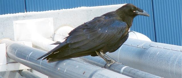 Как вороны мешали обнаруживать гравитационные волны: фотофакт