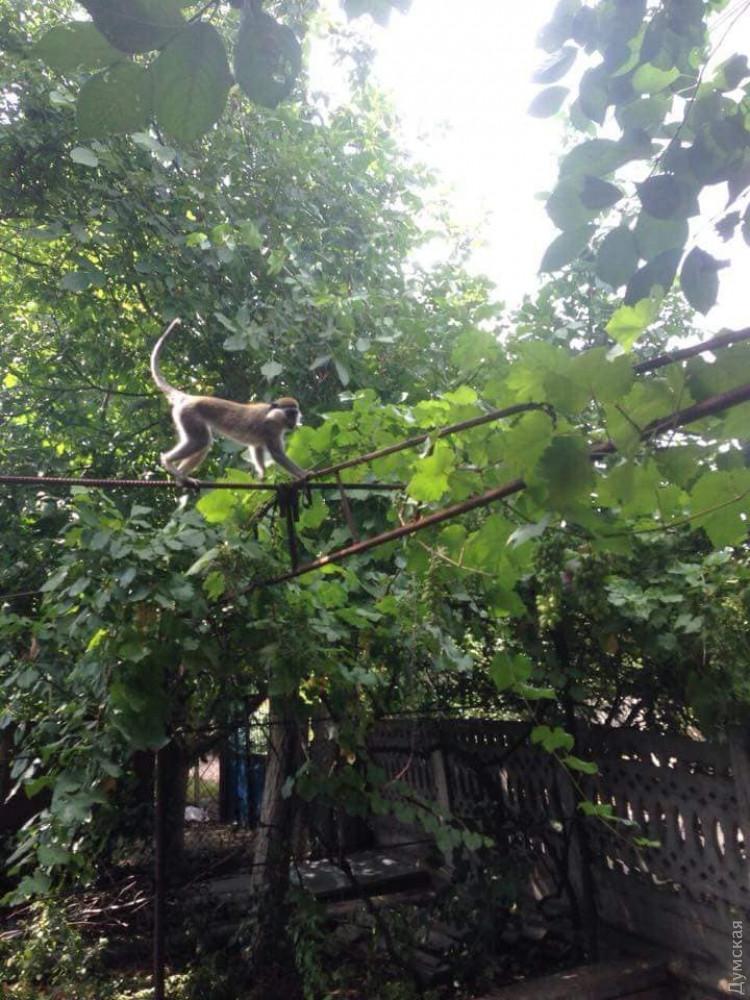 На дачах под Одессой поселилась сбежавшая стая обезьян: фото