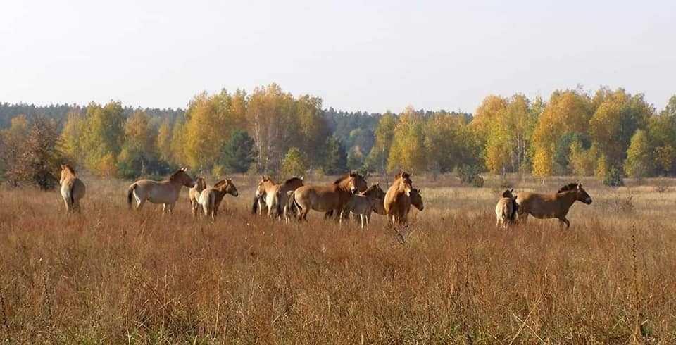 В Чернобыле растет популяция нетипичного для Полесья животного