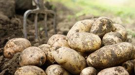 Беларусь впервые импортирует картофель во время сборки урожая. Больше всего из Украины
