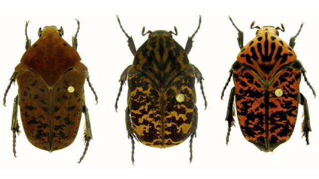 """В США новый вид жуков назвали драконами из """"Игры престолов"""": фото"""