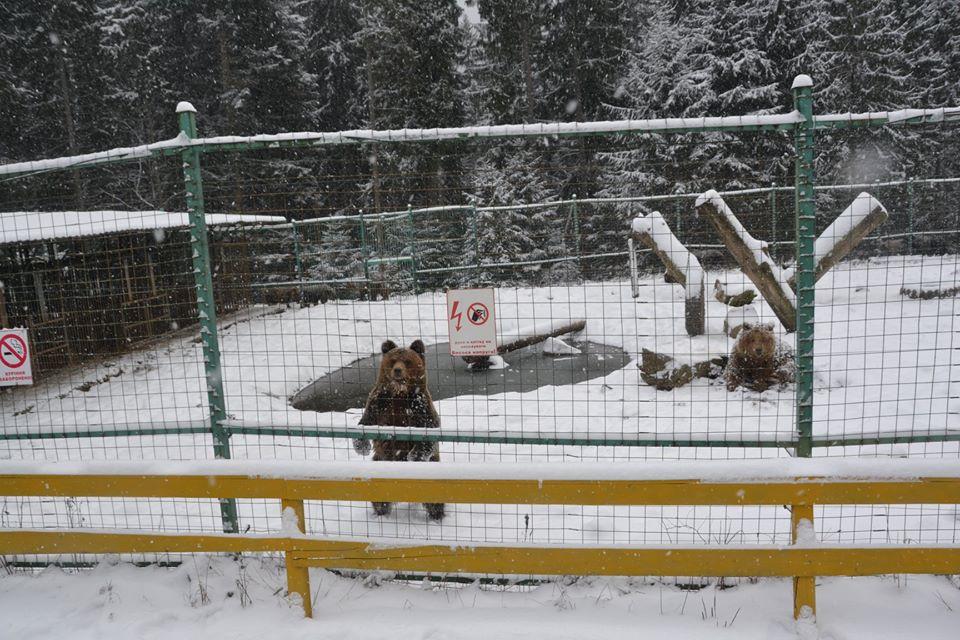 Теплая зима. В Карпатах не могут уснуть медведи – фото