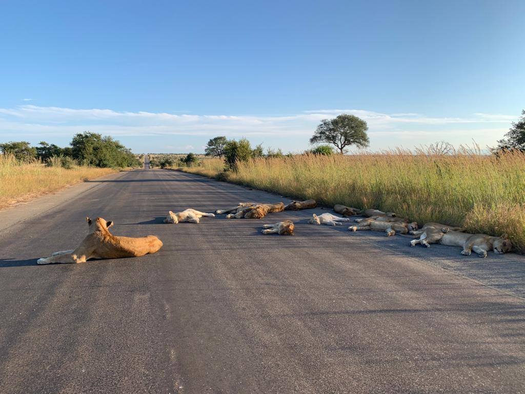 Львы в нацпарке Крюгера, ЮАР, спят на дороге (Фото: SANParksKNP/Тwitter)