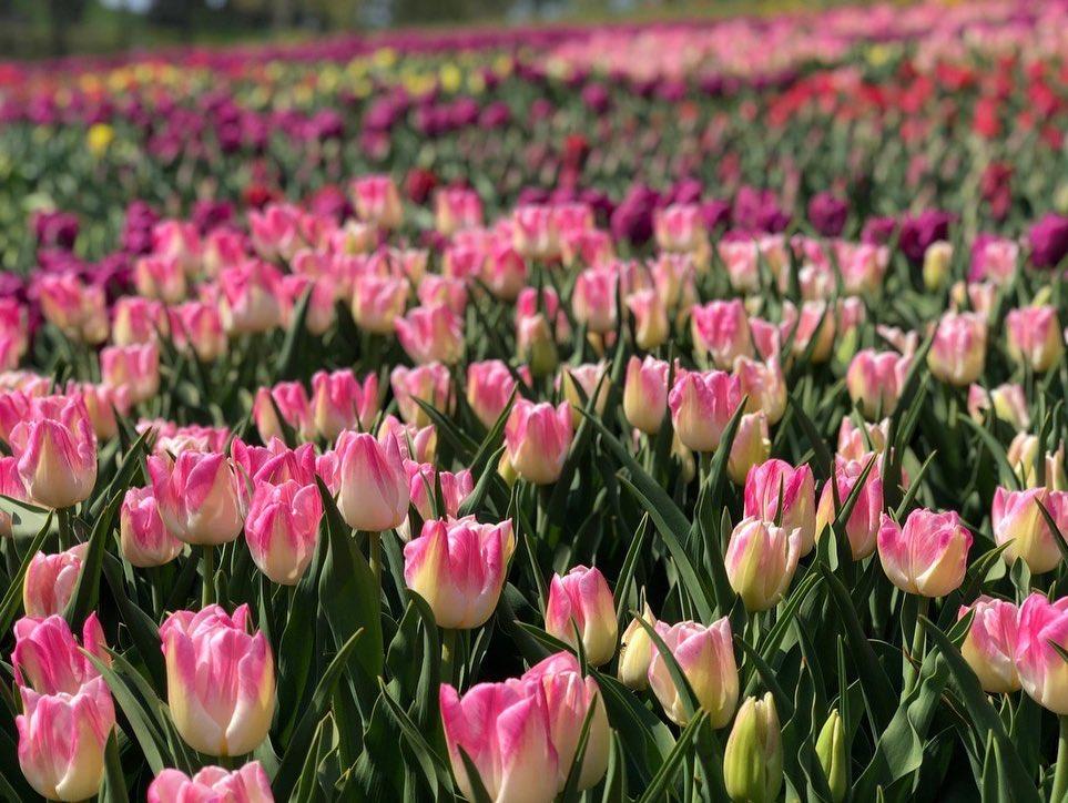 Выставка тюльпанов на Певческом поле (Фото: facebook.com/spivochepole)