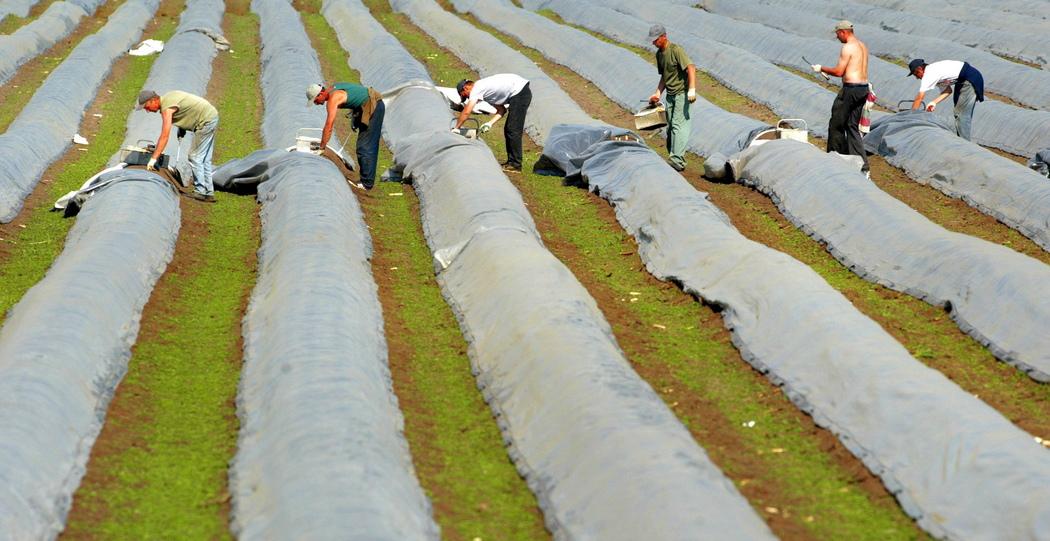 Иллюстративное фото: сезонные работники собирают урожай в Германии, фото: EPA