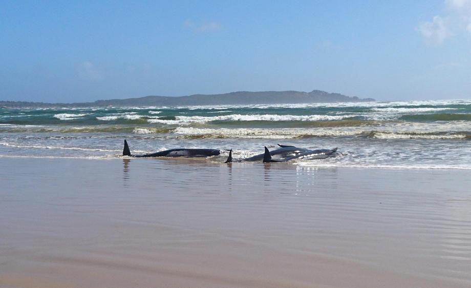 Около 250 черных дельфинов выбросились на берег на юге Австралии: более 20 погибли – фото
