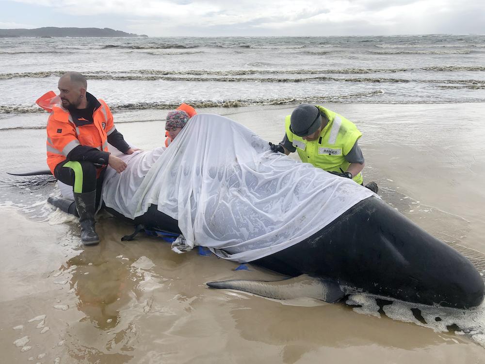 У берегов Тасмании погибли до 400 черных дельфинов: фото, видео