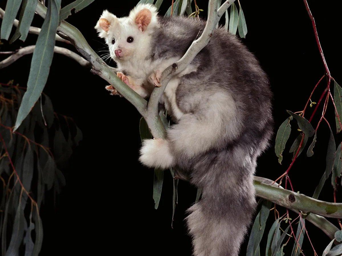 В Австралии открыли два новых вида животных. Посмотрите, какие они милые – фото