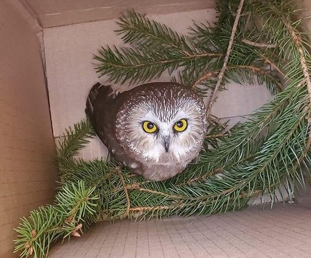 Крохотная сова в рождественской елке