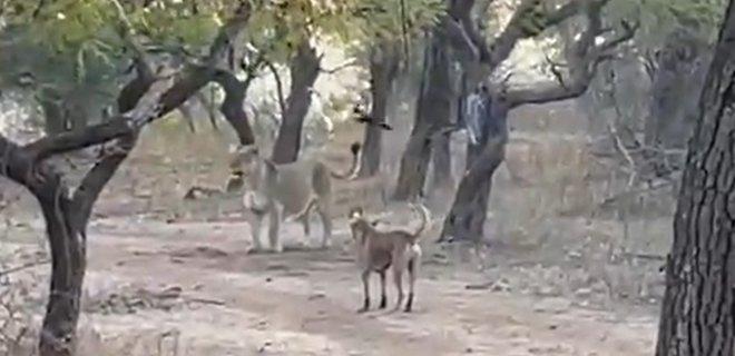 """""""Мне бы столько уверенности"""". В Индии собака вступила в схватку со львицей – видео"""