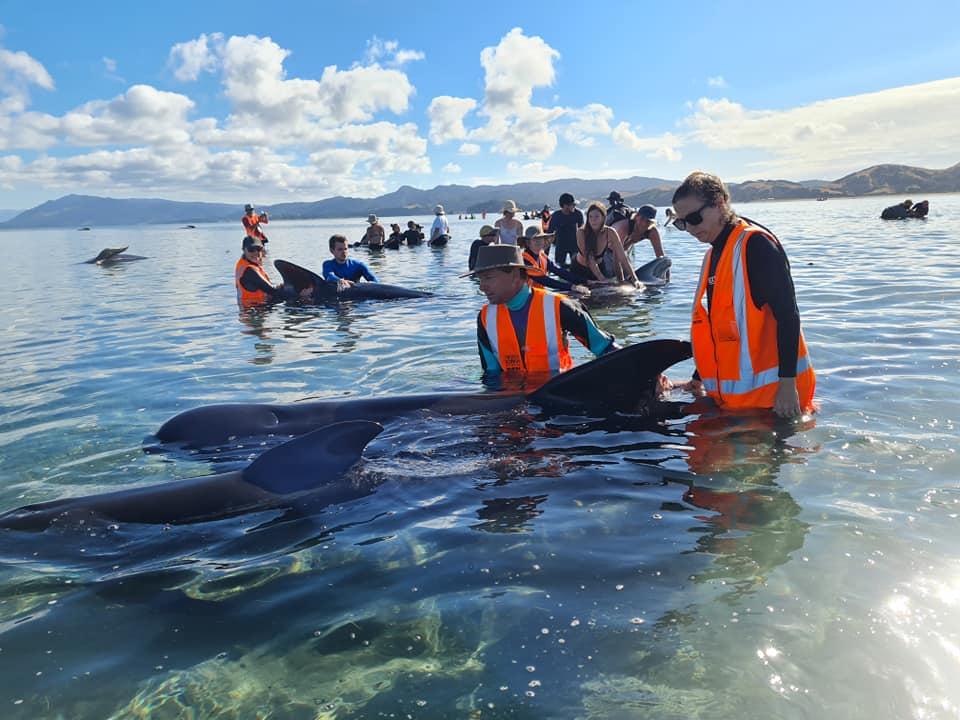 В Новой Зеландии выбросились на мель 50 черных дельфинов/круглоголовых китов – фото, видео