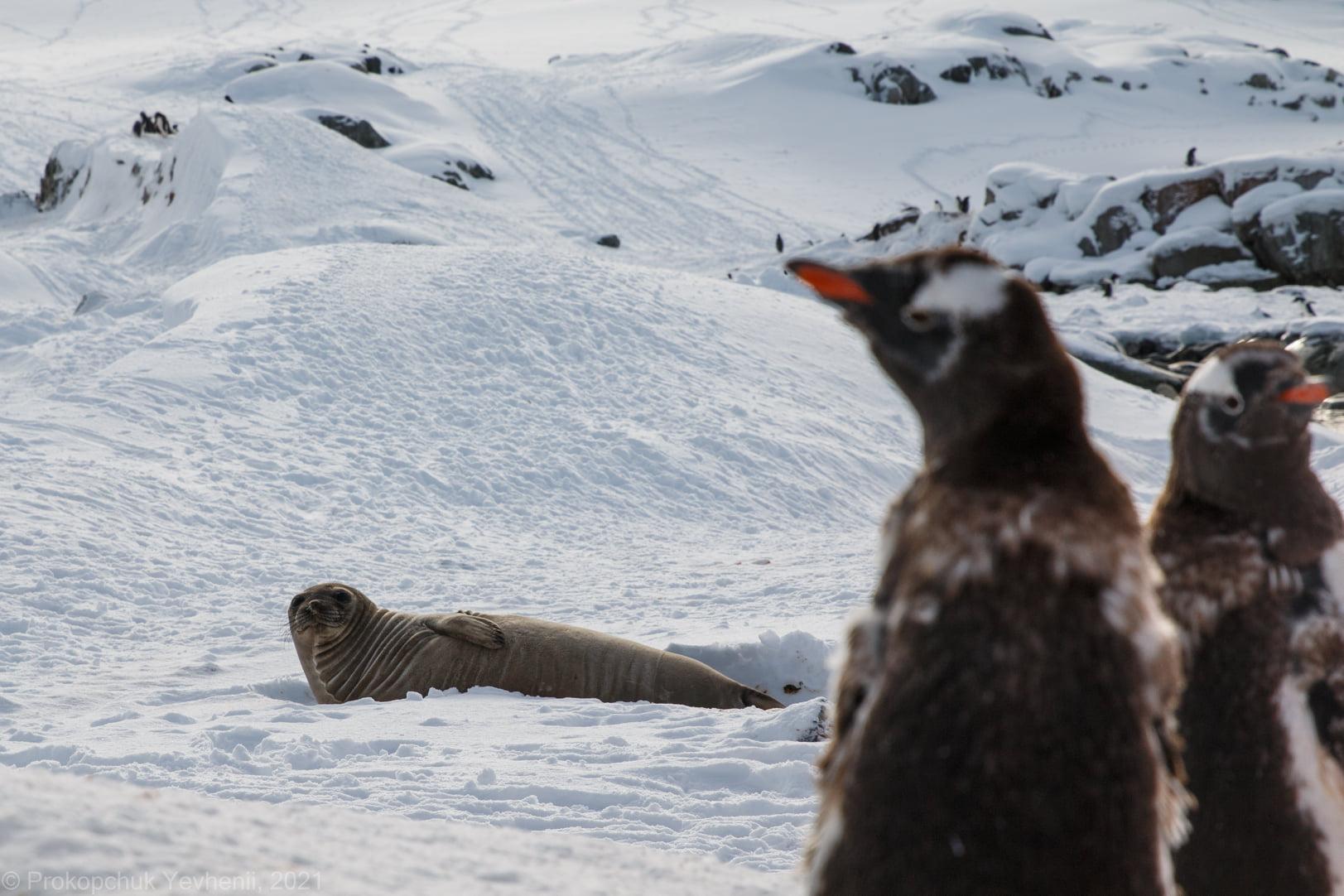 Украинцы встретили в Антарктиде морского слона. Он не был особо приветливым – фото