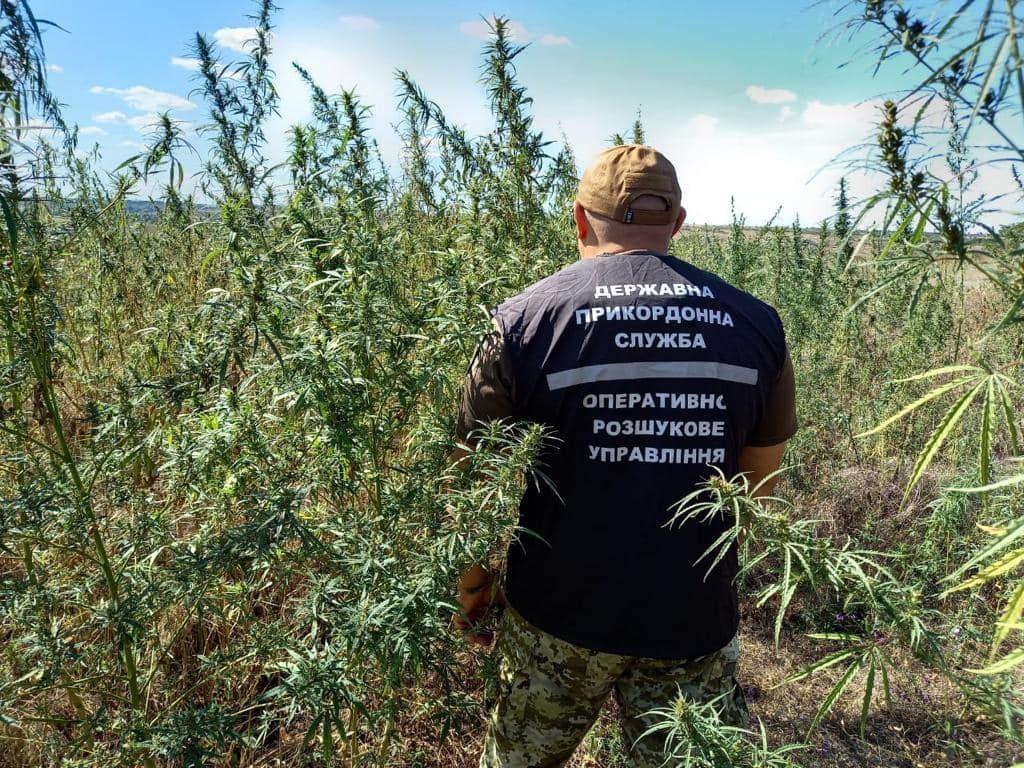 Пограничники нашли поле с 200 000 кустов конопли: фото