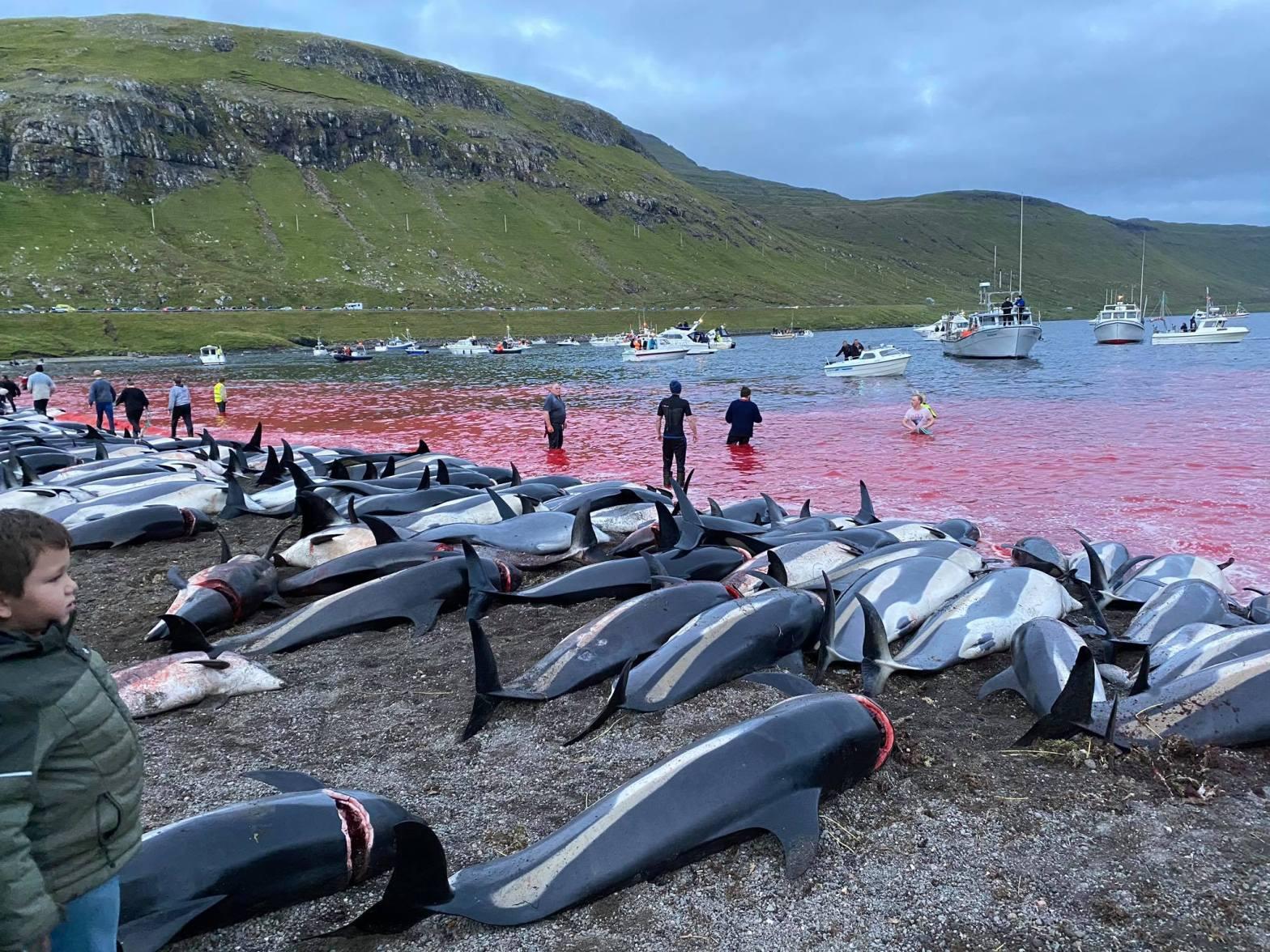 На Фарерских островах убили до 1500 дельфинов: наибольшее количество за историю наблюдений