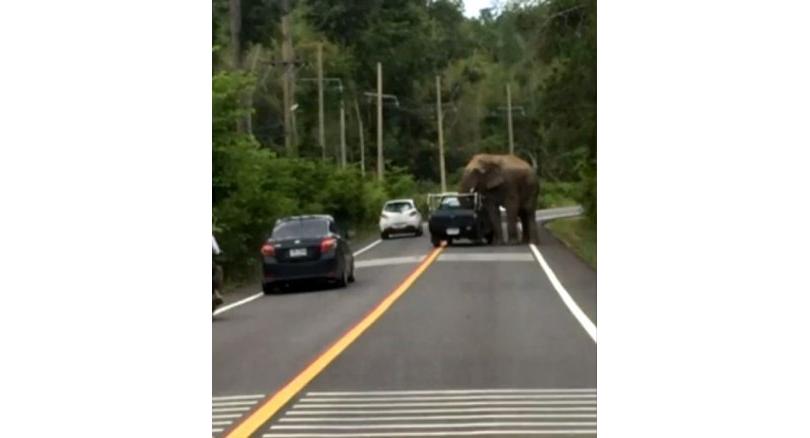 В Таиланде дикие слоны грабят грузовики с фруктами