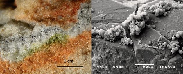 Cryomyces antarcticus