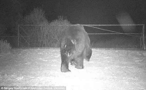 В Чернобыльскую зону вернулись бурые медведи - ученые