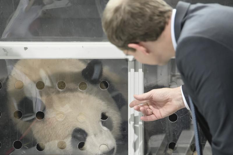 Китай подарил Германии двух маленьких панд в знак дружбы: фото