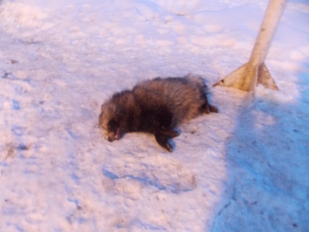 Под Черниговом в пункте пропуска обезвредили бешеного енота