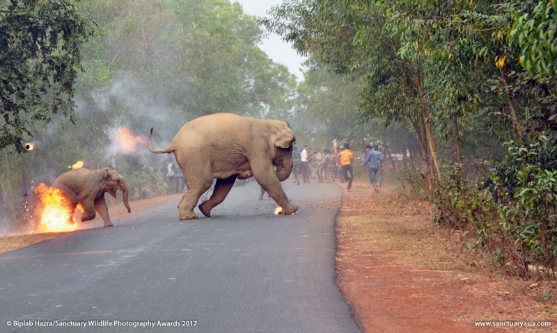 Фото с подожженным людьми слоненком выиграло конкурс Sanctuary