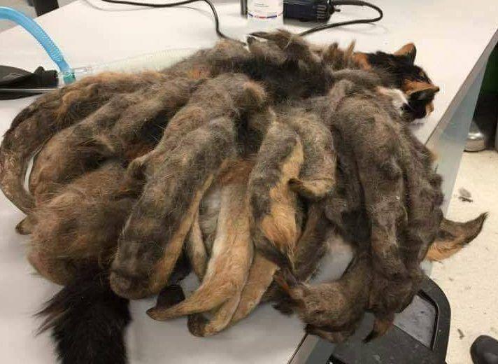 Нестриженая кошка едва не погибла под весом собственной шерсти