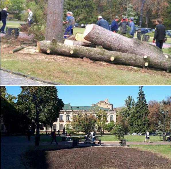 Экологическое преступление: в Киеве срубили 100-летнюю ель