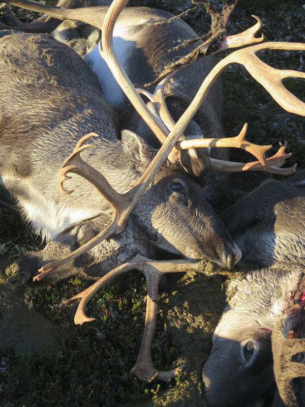 Массовая гибель оленей в Норвегии: почему это случилось