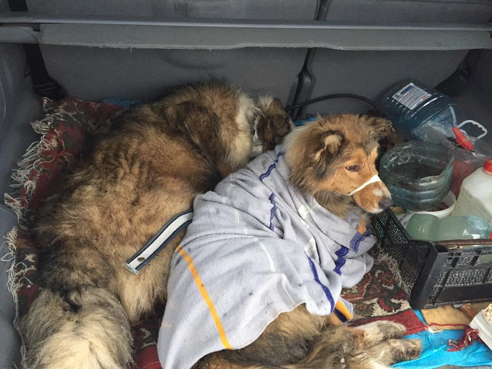 На Закарпатье пес двое суток охранял на рельсах раненую подругу