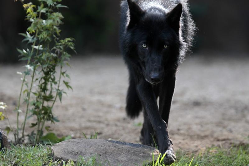 Стая волков атакует юг Донецкой области
