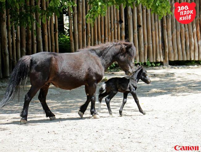 В Киевском зоопарке родился пони: фото
