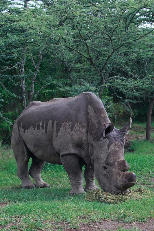 На Земле осталось всего три северных белых носорога
