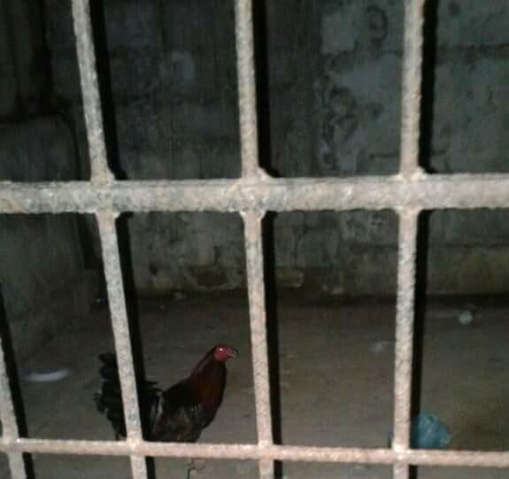 В Гондурасе полиция посадила в тюрьму петуха: фото