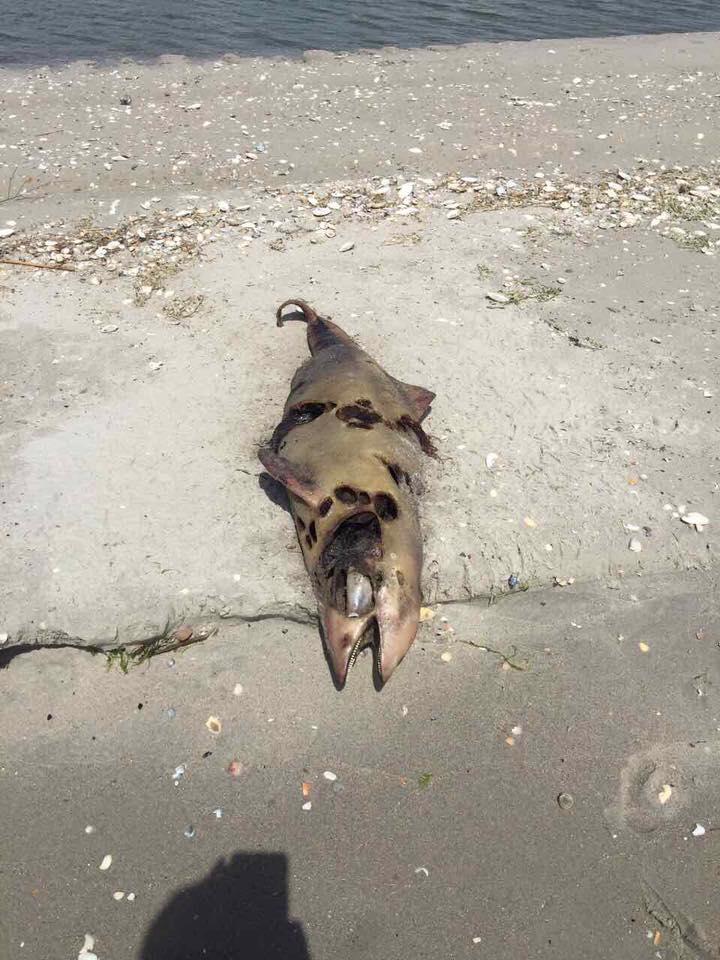 В Одесской области браконьеры убили десятки дельфинов: фото
