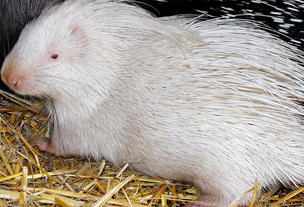 В Харьковском зоопарке родился редкий дикобраз: фото, видео
