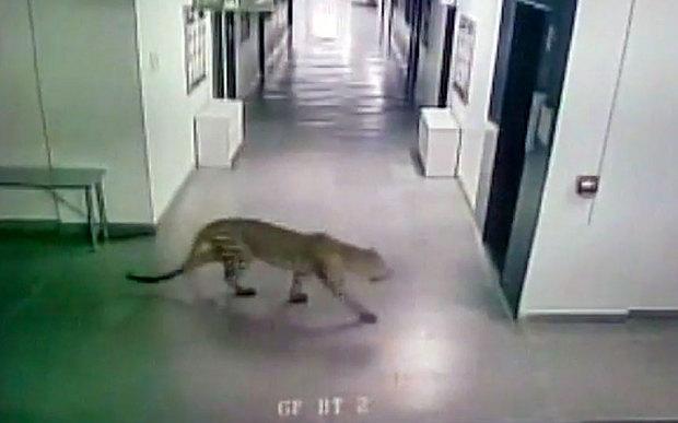 Леопард напал на людей в школе в Бангалоре: фото, видео