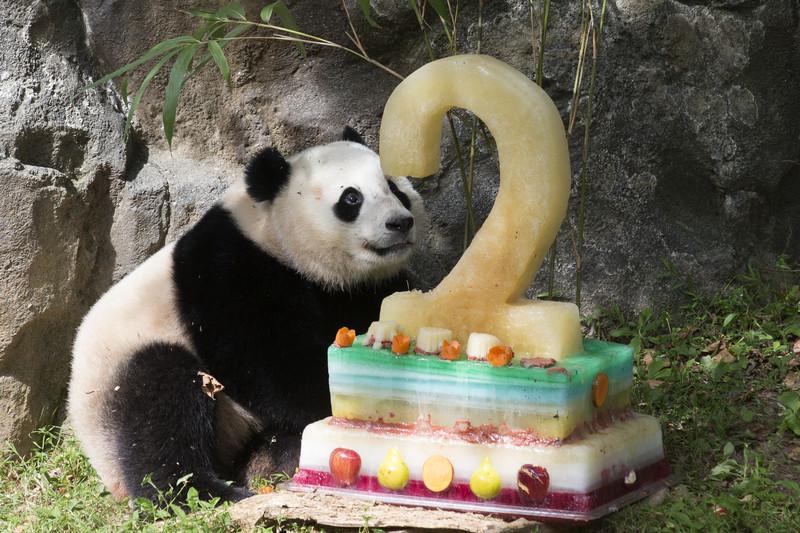 Большую панду исключили из 'вымирающего' вида