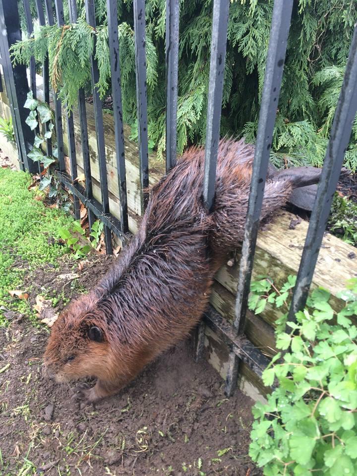 В Канаде застрявшего в заборе бобра спасли с помощью мыла: фото